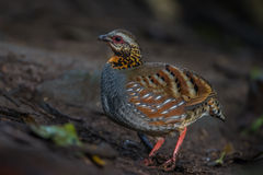 Left side of Arborophila rufogularis (rufous-throated partridge). In nature at Meawong international park, Thailand Royalty Free Stock Photos