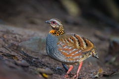 Left side of Arborophila rufogularis (rufous-throated partridge). In nature at Meawong national park,Thailand Royalty Free Stock Image