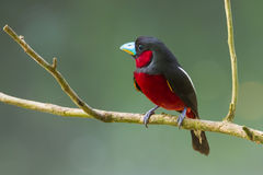 Left side of Black-and-Red Broadbill Royalty Free Stock Photos