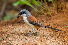 Left side of Burmese Shrike Stock Photography