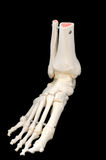 Left side front view of foot skeleton Stock Photo