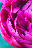 Left side of a pink peony royalty free stock photography