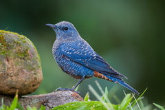 Left side portrait of Blue rock thrush Stock Photography