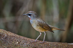Left side of Siberian Rubythroat. (Calliope calliope) on the wood in nature of Thailand Stock Photo