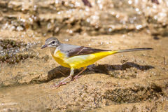 Left side of Yellow Wagtail Royalty Free Stock Image