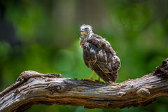 Left side of young Crested serpent-eagle(Spilornis cheela) Stock Images