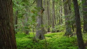 Stand of Trees Mossy Fern Covered Forest Floor Woods. A left to right pan across an old growth forest in dense woods stock video footage