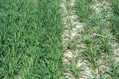 Left wheat treated with organic fertilizer, right - no royalty free stock photo