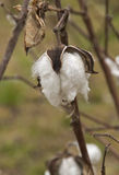 Lefter Over Cotton Boll. A boll of cotton remains in the field after harvesting on a farm in Eastern North Carolina Stock Photography