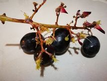 Leftover black globe. Grapes with four grapes and a baby grape attached to the branch Stock Images