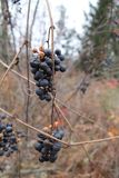 Leftover Grapes Stock Photo