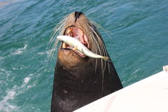 Leftovers. Seal eating leftover bait fish Stock Photo