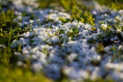 Leftovers of snow. The image shows a remnant snow covering grass Royalty Free Stock Photography