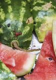 Leftovers of a watermelon Stock Photos