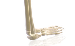 Leg bone Royalty Free Stock Photography