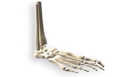 Leg bone Royalty Free Stock Photo