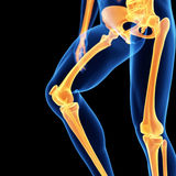 The leg bones Stock Photos