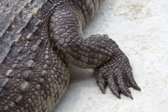 Leg of the crocodile Royalty Free Stock Images