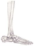 Leg and foot bones Royalty Free Stock Images