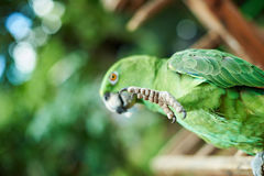 Leg of green parrot Royalty Free Stock Image