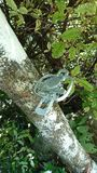 Leg hold trap NZ. Possum leg hold trap Royalty Free Stock Image