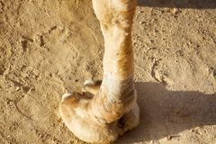 Leg, the hoof, camel toe of a camel dromader. And its trace on the sand stock photo