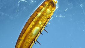 Leg of an Insect. Detailed Microscopic Footage of insect leg stock video footage