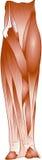 Leg muscle Stock Photos