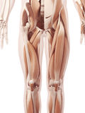The leg muscles. Anatomy illustration showing the leg muscles stock illustration
