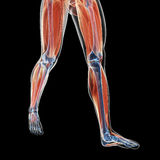 Leg muscles stock illustration
