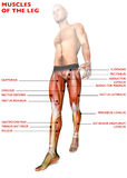 Leg muscles, human body, anatomy, muscular system, anatomy person Stock Photos