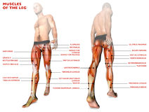 Leg muscles, human body, anatomy, muscular system, anatomy person Royalty Free Stock Photos