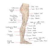 Leg muscles lateral text Royalty Free Stock Photos