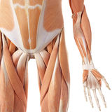 The leg muscles Royalty Free Stock Images