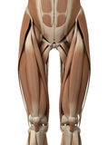 The leg muscles royalty free illustration