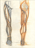 Leg muscles views. Hand drawn illustration of the leg muscles, original artistic anatomy graphic sketckes over an obsolete paper with spots, front and back view Royalty Free Stock Photo