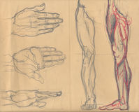 Leg and palm sketches. Hand drawn illustrations of different positions of the leg and hand, artistic anatomy graphic sketches on obsolete light brown paper Stock Image