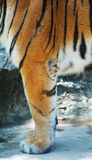Leg Tiger. Wild tiger in South Africa Royalty Free Stock Photos