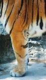 Leg Tiger Royalty Free Stock Photos