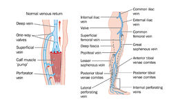 Leg veins. Drawing of the veins of the leg and the calf muscle pump stock illustration
