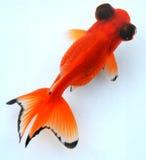Leg vissen oranje zwarte ogen vast Stock Fotografie