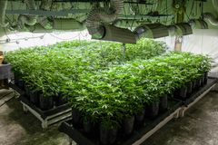 Legal cannabis grow room series - Marijuana growing and cultivation plants in bags under lights. Legal grow room series - growing and cultivation plants in bags stock photo