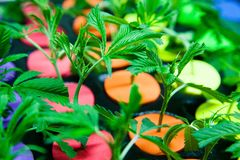 Legal cannabis grow room series - Marijuana growing and cultivation small clones stock photos