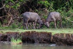 Legame dei bufali d'acqua immagini stock libere da diritti