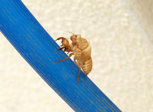 Lege die shell van cicade na metamorphosi wordt verlaten stock afbeeldingen