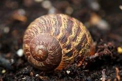 Lege shell Cornuaspersum royalty-vrije stock afbeelding