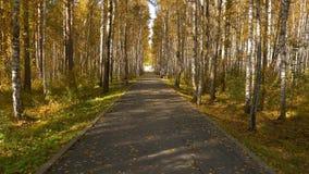Lege steeg in stadspark Geel bladeren of blad op berk Gouden de herfst aardige scène stock videobeelden