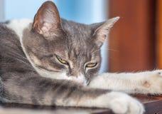 Legen der ausdrucksvollen grauen und weißen Katze mit grünen Augen Lizenzfreies Stockbild