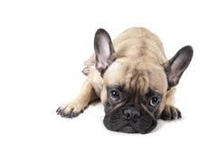 Legen der französischen Bulldogge Stockbild