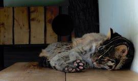 Legen der netten braunen Katze lizenzfreies stockbild
